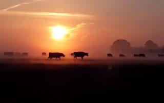Koeien in de ochtend op de Hoogwaterboerderij
